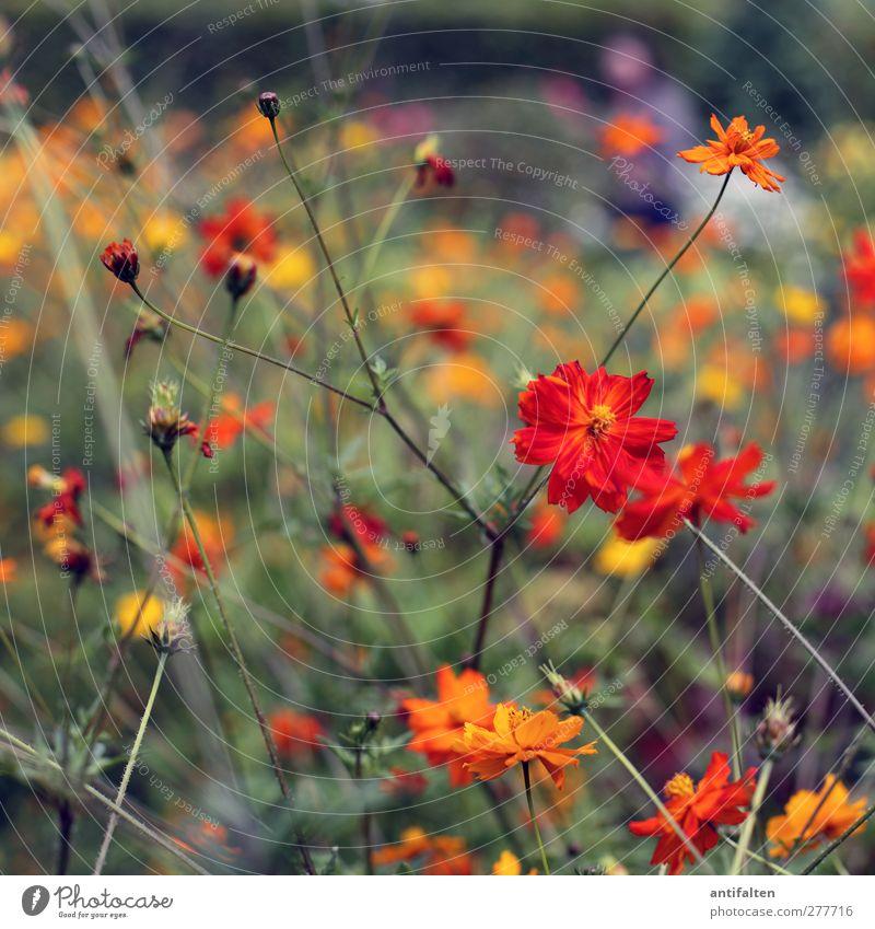 Orange flowers Natur Pflanze Sommer Schönes Wetter Blume Blatt Blüte Wildpflanze Garten Park gehen Duft schön mehrfarbig gelb grün orange Freude Fröhlichkeit