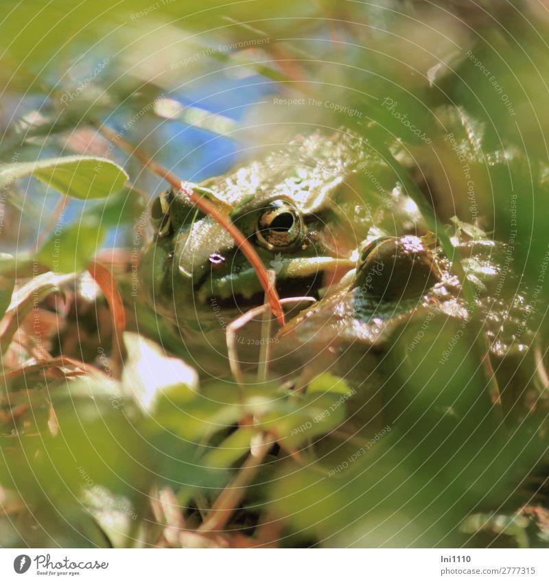 Frösche Natur Pflanze Sommer Schönes Wetter Moor Sumpf Teich Frosch 2 Tier blau braun gelb grau grün weiß Momentaufnahme Auge Tarnung beobachten Wachsamkeit