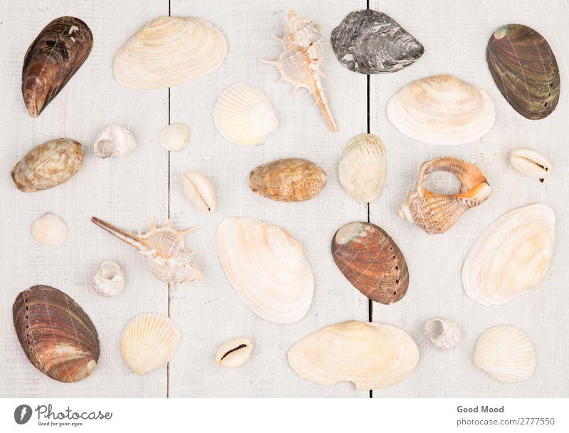 Die Gruppe der Muscheln auf weißem Holzgrund exotisch Leben Ferien & Urlaub & Reisen Sommer Strand Meer Haus Dekoration & Verzierung Natur Küste Sammlung