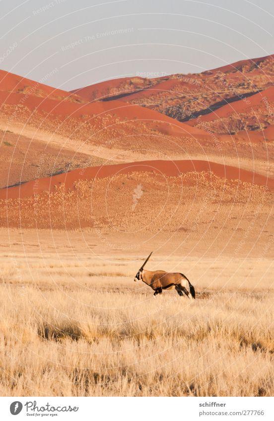 Dann geh ich halt auch... Natur rot Einsamkeit Tier Landschaft Umwelt Gras gehen Wildtier einzeln Wüste Stranddüne Düne Grasland Steppe Safari