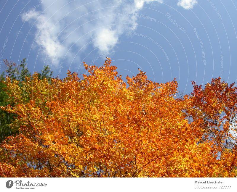 Herbstlaub Blatt September Oktober November ruhig Baum Ahorn Wolken orange Farbe Kontrast Himmel