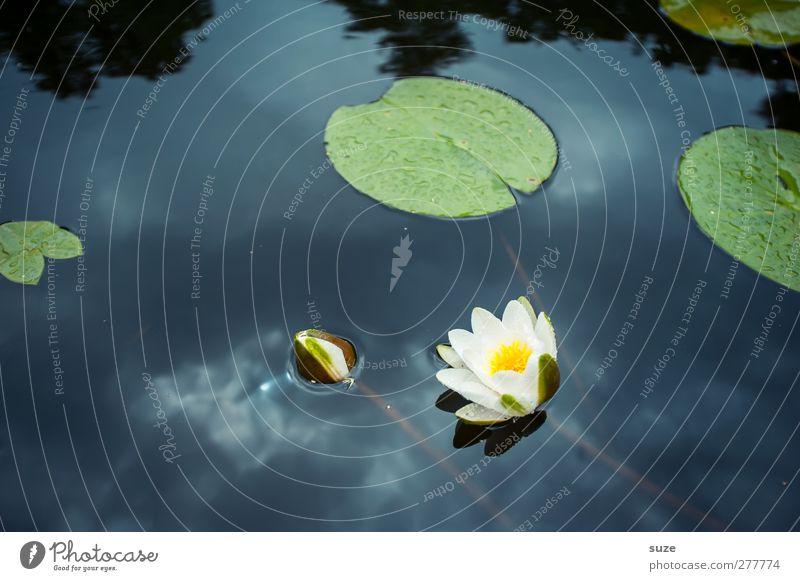 Seerosenteich Lifestyle schön Wellness harmonisch ruhig Umwelt Natur Pflanze Urelemente Wasser Blatt Blüte Teich Blühend kalt Kitsch rund blau weiß