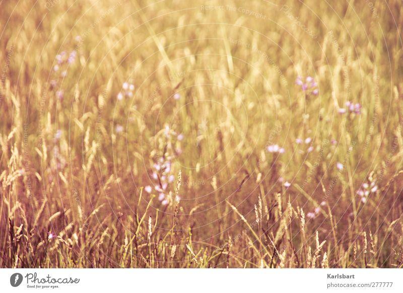 heidengold. Natur Sommer Pflanze Blume ruhig Erholung Landschaft Umwelt Wiese Herbst Gras Bewegung Freiheit Blüte Gesundheit wandern