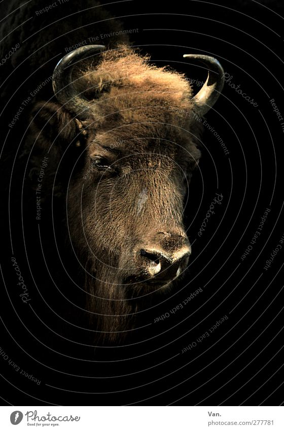 Selbstportrait Tier Wildtier Tiergesicht Kopf Bison Horn 1 groß braun schwarz Fell Farbfoto Gedeckte Farben Innenaufnahme Menschenleer Textfreiraum rechts
