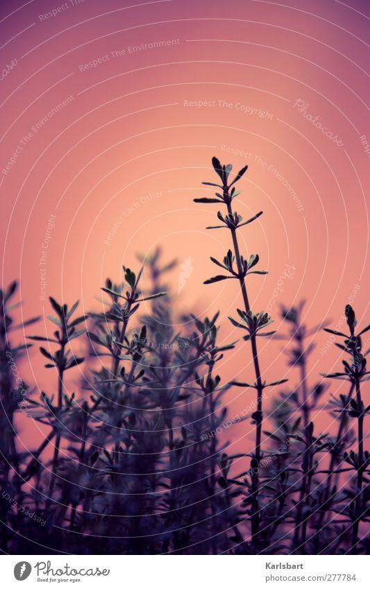 halbstrauch. Lebensmittel Kräuter & Gewürze Thymian Ernährung Bioprodukte Gesundheit Gesundheitswesen Sinnesorgane ruhig Duft Sommer Garten Erntedankfest Natur