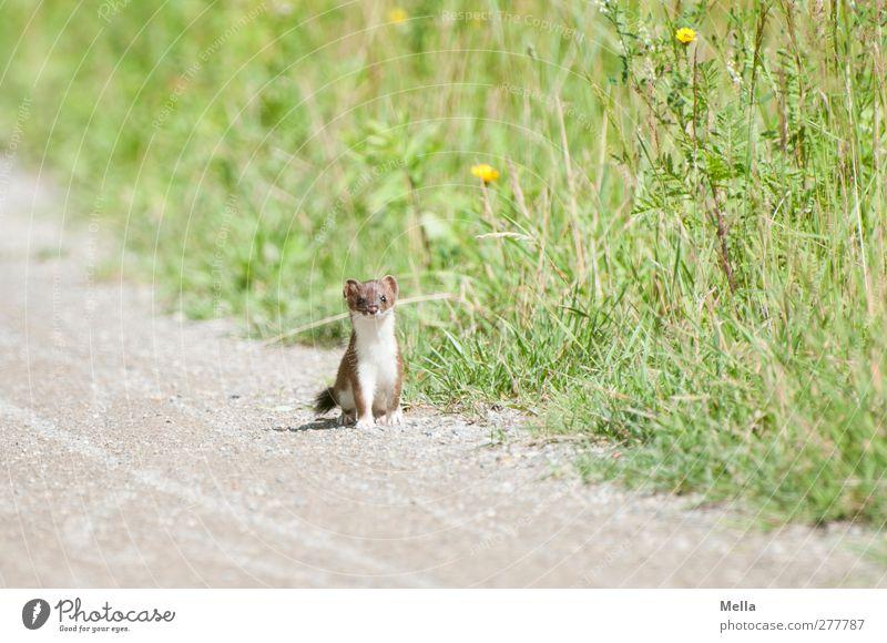 Wieselus Minimus Umwelt Natur Tier Sommer Gras Wildtier Hermelin Marder 1 Blick stehen frei klein natürlich Neugier niedlich achtsam Wachsamkeit Freiheit