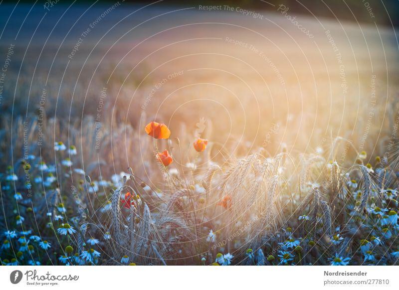 Licht Zeitmaschine Natur Pflanze Sonnenlicht Sommer Schönes Wetter Blume Feld Leben bizarr Sinnesorgane Stimmung Surrealismus Mohn Getreide Margerite Ähren