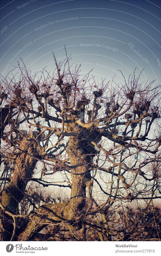 lonely tree Umwelt Natur Himmel Wolkenloser Himmel Baum Holz Wachstum alt standhaft Textfreiraum oben laublos Geäst Zweig Ast Laubbaum
