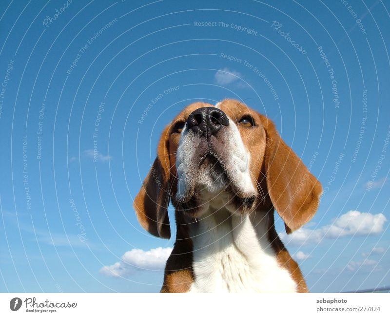 Hund Beagle Natur Himmel Wolken Sommer Schönes Wetter Tier Haustier Tiergesicht Fell 1 Blick warten ästhetisch Coolness elegant blau braun weiß selbstbewußt