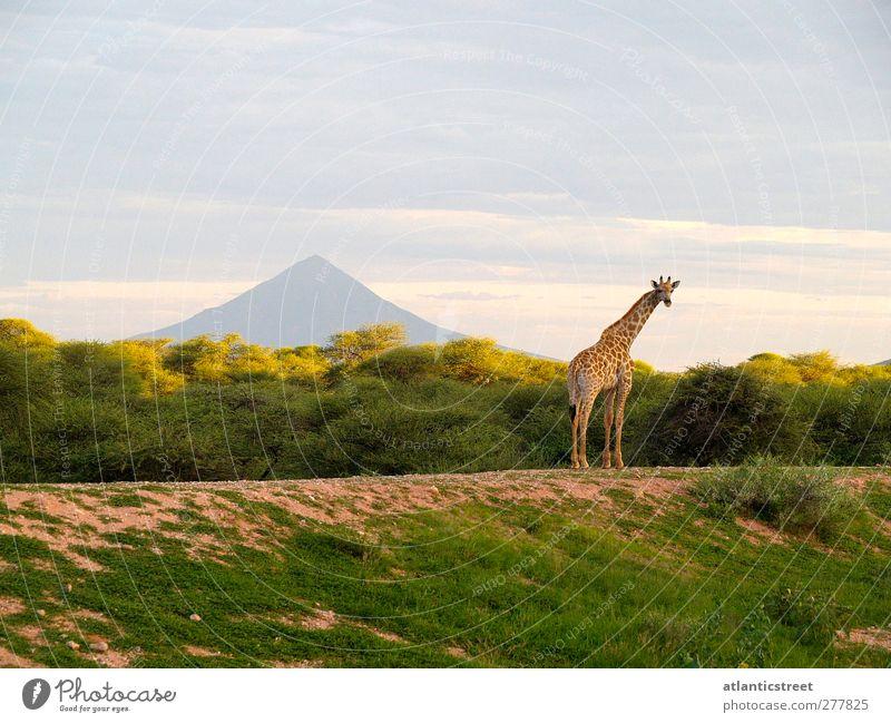 Giraffe am Mt. Etjo Natur schön Einsamkeit Tier ruhig Erholung Freiheit Horizont Stimmung natürlich Wildtier Abenteuer beobachten Romantik Unendlichkeit Frieden