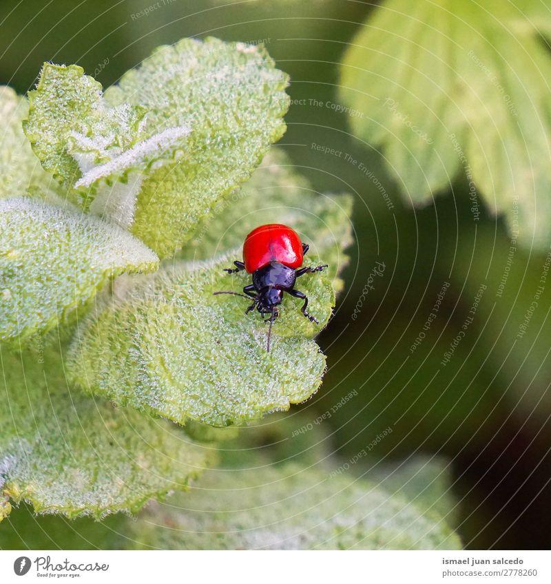 roter Käfer auf den Blättern Wanze Insekt Flügel Tier Pflanze Blume Garten Natur Außenaufnahme Hintergrund Beautyfotografie Zerbrechlichkeit elegant