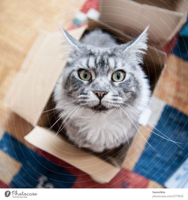Katz' in Box Haustier Katze Fell 1 Tier Kasten Neugier schön weich blau braun grau Hauskatze Auge Schachtel Karton Farbfoto Innenaufnahme Vogelperspektive