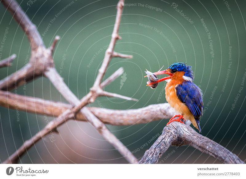 Eisvogel beim Frühstück Umwelt Natur Landschaft Seeufer Wildtier Vogel 1 Tier Essen Fressen Jagd sitzen sportlich exotisch frei schön lecker natürlich wild blau