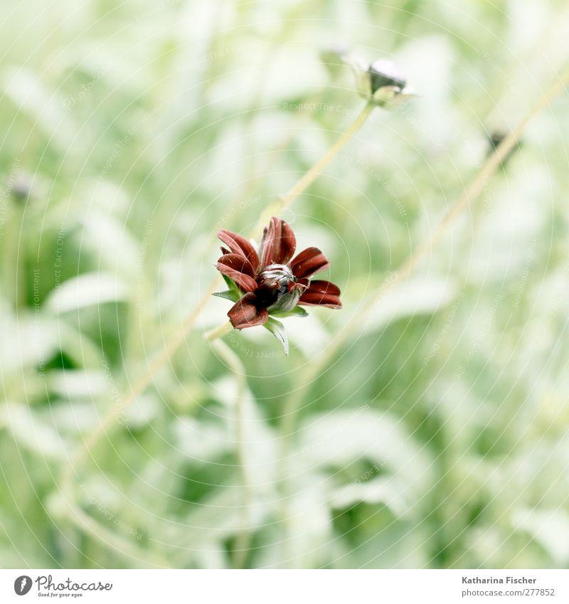 Wildes Blümchen Umwelt Natur Landschaft Pflanze Blume Gras Sträucher Blüte Grünpflanze Wildpflanze exotisch Garten Park Wiese braun gelb grün rot weiß Farbfoto