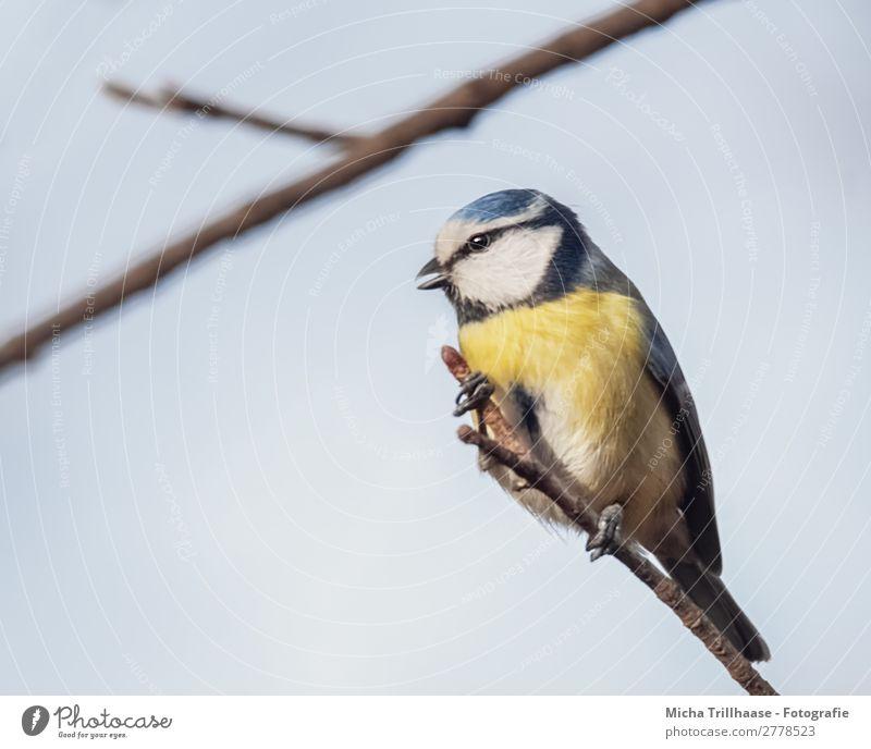 Zwitschernde Blaumeise Himmel Natur blau weiß Baum Tier schwarz gelb Auge natürlich Vogel leuchten Wildtier Feder Schönes Wetter Flügel