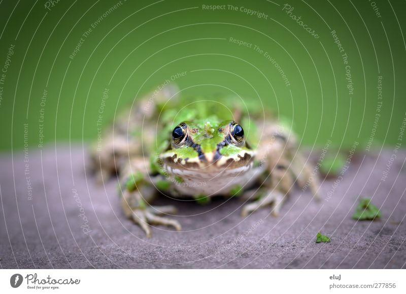 Was guckst du!? Tier Frosch 1 beobachten Blick sitzen glänzend schleimig braun gelb grau grün schwarz Neugier Stein Farbfoto Außenaufnahme Textfreiraum oben