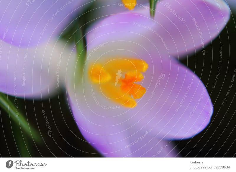 Fragile purple crocus macro. Natur Pflanze Frühling Blume Blüte Blühend Wachstum gelb grün violett orange Safran wild Wald Wiese Krokusse Deutschland