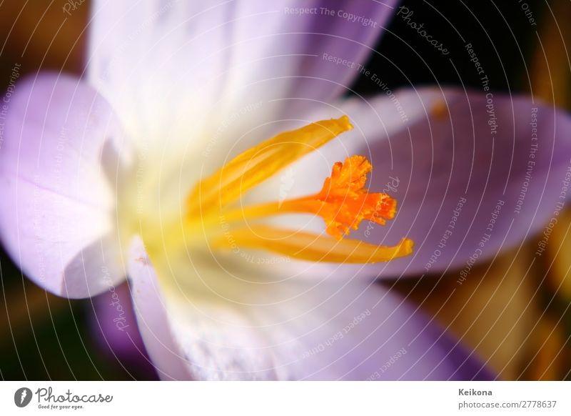 Fragile purple crocus macro. Natur Pflanze Sonne Frühling Blume Krokusse Blühend Wachstum gelb violett orange Safran Makroaufnahme Farbfoto Tag Sonnenlicht