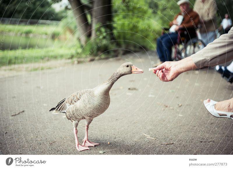 Gans nette Leute Mensch Hand Tier Umwelt Fuß Vogel Park natürlich Wildtier authentisch Neugier Freundlichkeit ködern tierisch Gans füttern