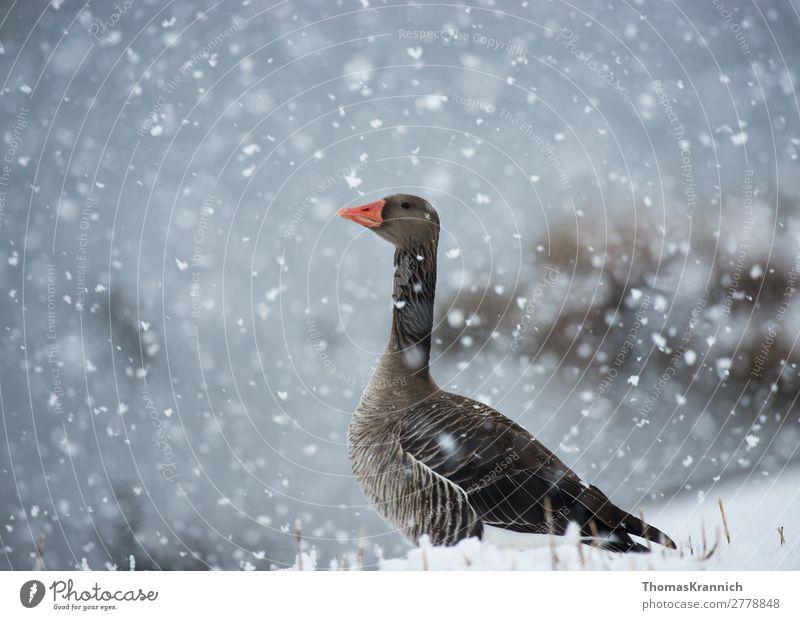 Graugans anmütig im Schnee Natur Winter Wetter Schneefall Tier Wildtier Gans 1 Blick ästhetisch elegant blau grau Zufriedenheit ruhig Sehnsucht Erholung Klima