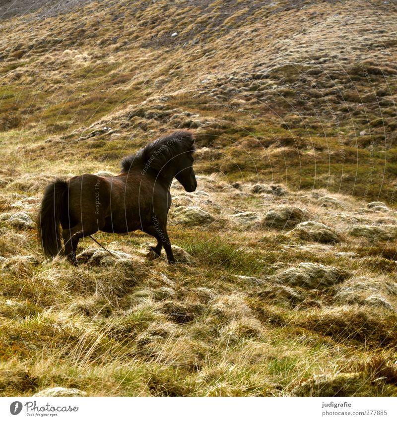 Island Natur Tier Umwelt Gras braun natürlich wild laufen frei Pferd Hügel Island Ponys