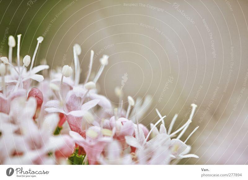 Blümle Natur Pflanze Blume Blüte Garten frisch rosa Blütenkelch Farbfoto Gedeckte Farben Nahaufnahme Menschenleer Textfreiraum oben Hintergrund neutral Tag