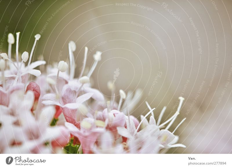 Blümle Natur Pflanze Blume Blüte Garten rosa frisch Blütenkelch