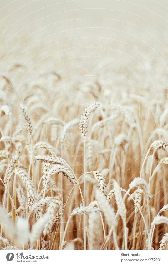 Feldfrüchte Getreide Natur Pflanze Sommer Nutzpflanze Wachstum Getreidefeld Weizen Weizenfeld Landleben Landwirtschaft Lebensmittel Kornfeld Ähren Farbfoto
