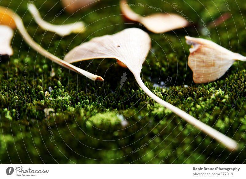 Fallen Umwelt Natur Pflanze Herbst Moos Blatt Grünpflanze Verfall Ginkgo Farbfoto Außenaufnahme Makroaufnahme Menschenleer Tag Kontrast Sonnenlicht