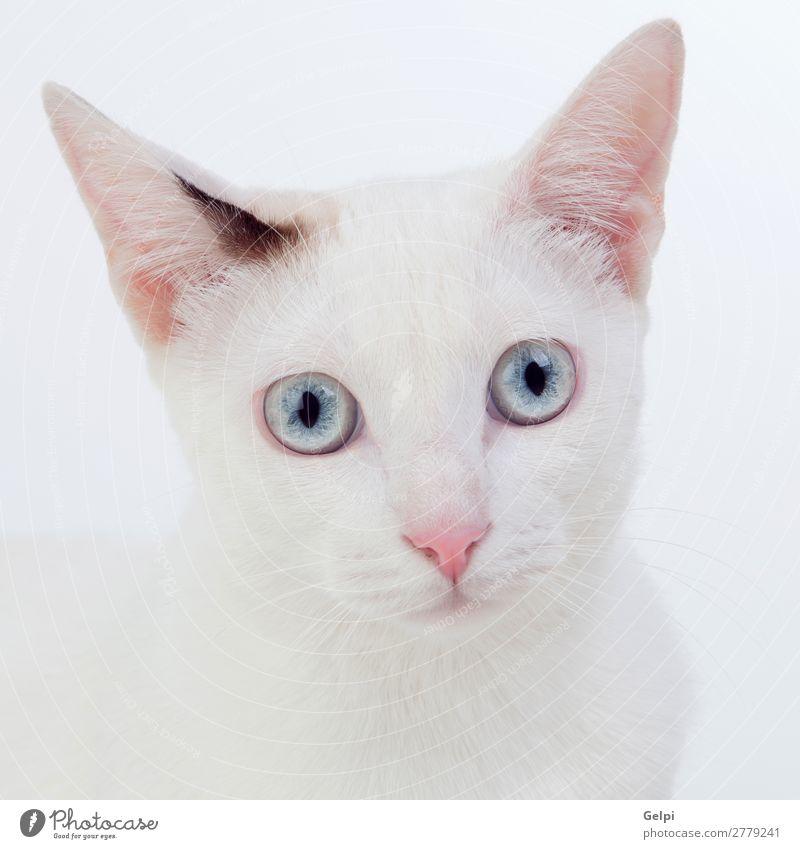 Katze Natur blau schön weiß Tier Freude lustig sitzen niedlich weich Beautyfotografie Hauskatze Haustier Säugetier reizvoll