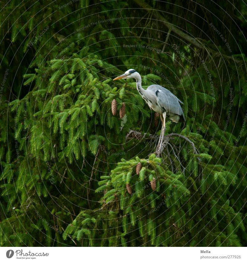 Im Grünen Umwelt Natur Pflanze Tier Baum Tanne Fichte Nadelbaum Geäst Wildtier Vogel Reiher Graureiher 1 Blick stehen frei natürlich grün Farbfoto Außenaufnahme