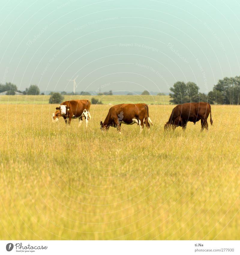 Weideglück Tier Landschaft gelb braun wandern Wachstum Tiergruppe beobachten Neugier türkis Kuh Fressen Nutztier Bulle Ochse Dithmarschen