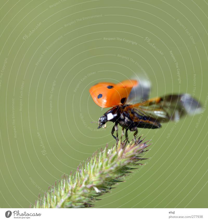 Abheben grün weiß rot Tier schwarz Bewegung klein orange fliegen Sträucher Dynamik Käfer Marienkäfer Grünpflanze gepunktet