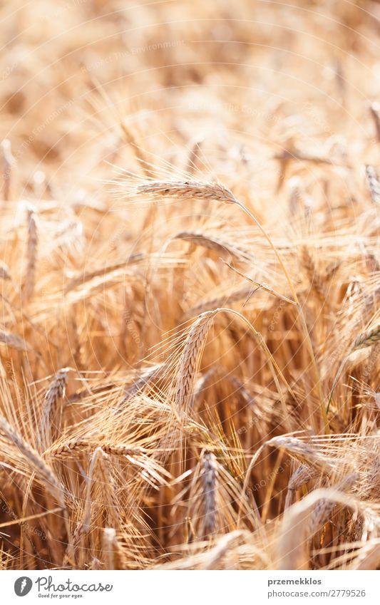 Nahaufnahme des Feldes des reifen goldenen Roggens schön Sommer Umwelt Natur Landschaft Pflanze Blume Wachstum frisch natürlich gelb landwirtschaftlich Ackerbau
