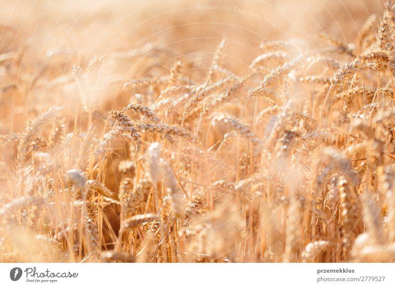 Nahaufnahme des Feldes des reifen Goldweizens schön Sommer Umwelt Natur Landschaft Pflanze Blume Wachstum frisch natürlich gelb gold landwirtschaftlich Ackerbau