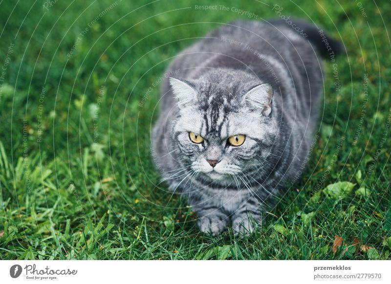 Katze schön grün Tier lustig Gras grau sitzen niedlich Haustier reizvoll Katzenbaby heimisch