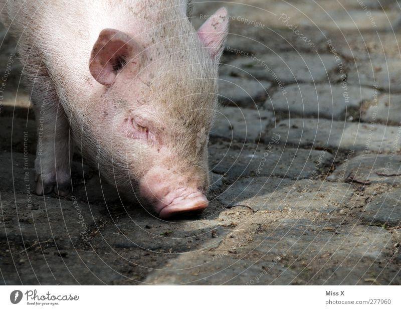 Sugl Tier Nutztier 1 Tierjunges dick dreckig rosa Schwein Ferkel Schweinschnauze Suche Geruch Kopfsteinpflaster Borsten Farbfoto Außenaufnahme Nahaufnahme