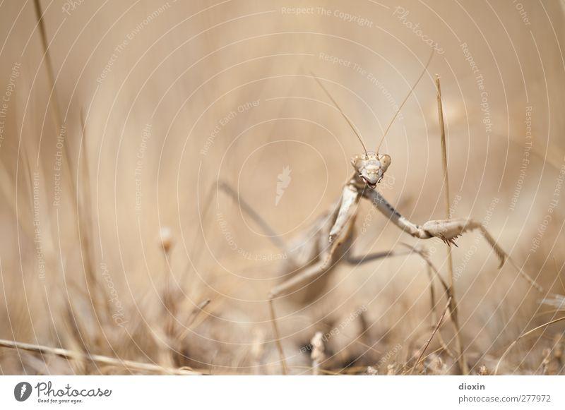Die Seherin -2- Umwelt Natur Erde Gras Tier Wildtier Gottesanbeterin Insekt Fangschrecken 1 beobachten außergewöhnlich gruselig natürlich selten bedrohlich