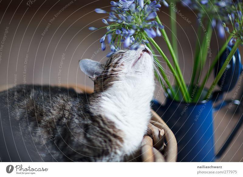 Katze Katze blau weiß Tier ruhig braun liegen Zufriedenheit niedlich Neugier genießen Blühend Gelassenheit Blumenstrauß Duft Haustier