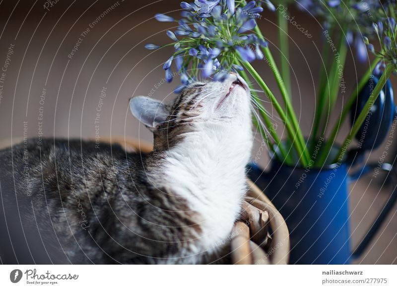 Katze Tier Haustier 1 Blumenstrauß Kannen Blühend Duft genießen liegen Blick Neugier niedlich blau braun weiß Zufriedenheit Tierliebe Gelassenheit ruhig Geruch