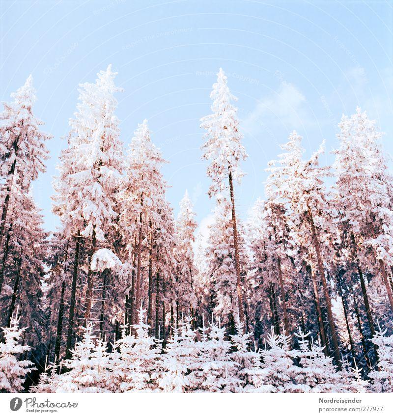 Winter Silvester u. Neujahr Natur Landschaft Pflanze Wolkenloser Himmel Klima Schönes Wetter Eis Frost Schnee Baum Wald glänzend kalt blau braun orange weiß