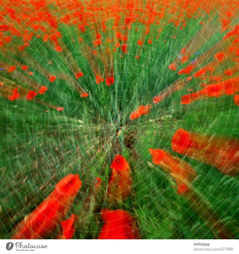 mohntage Umwelt Natur Pflanze Blume Garten Park Wiese Feld grün rot Mohn Mohnblüte Frühling Sommer mehrfarbig Farbfoto Außenaufnahme Bewegungsunschärfe