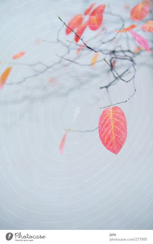 herbst Natur blau Baum Pflanze rot Blatt Umwelt Herbst grau natürlich ästhetisch