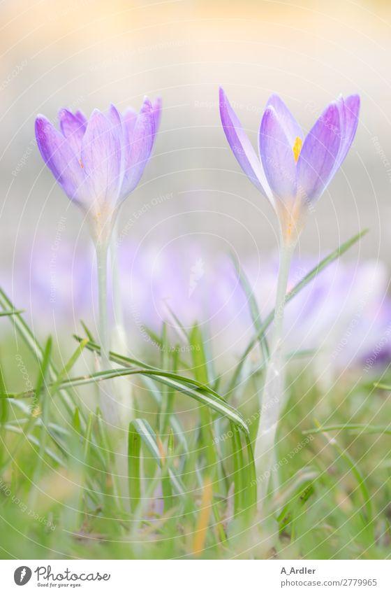 Krokusse als Frühlingsboten Pflanze Sonne Sonnenlicht Sommer Schönes Wetter Blume Garten Park Wiese schön weich gelb grün violett orange rosa weiß Duft Botanik