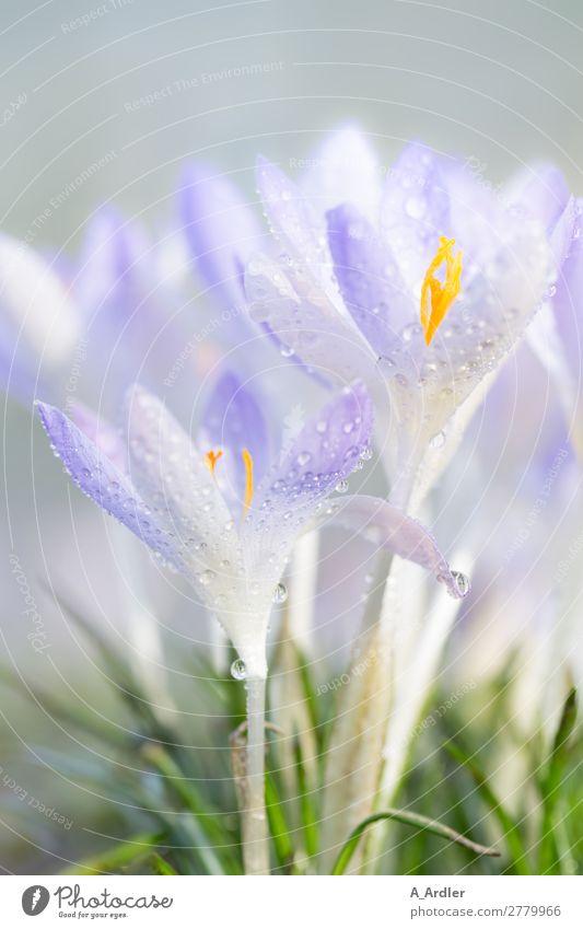 Krokusse im Frühling Garten Natur Pflanze Wassertropfen Sonnenlicht Sommer Schönes Wetter Gras Park Wiese Duft hell schön weich blau violett orange rosa silber