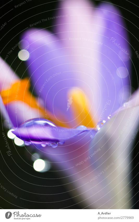Krokussblüte mit Wassertropfen elegant Stil Design Meditation Kunst Natur Pflanze Frühling Sommer Regen Blume Krokusse Blüte Blütenblatt Blütenkelch Garten Park
