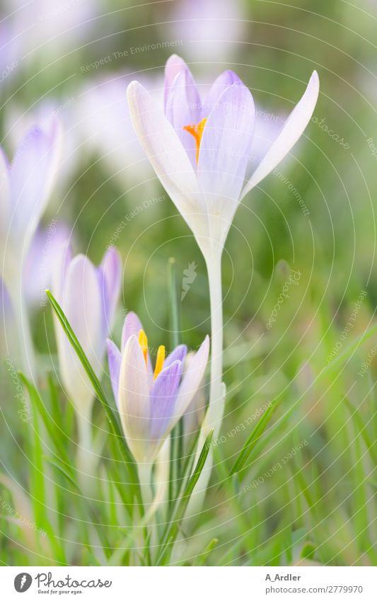 Krokusse im Frühling Natur Pflanze schön grün Blume Erholung Gesundheit Liebe Blüte Wiese Garten orange rosa Ausflug leuchten