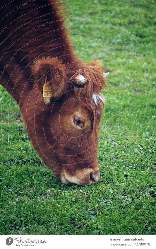 braune Kuh Porträt Hörner Tier wild Kopf Tierwelt Auge Ohren Behaarung Natur niedlich Beautyfotografie elegant wildes Leben ländlich Wiese Bauernhof