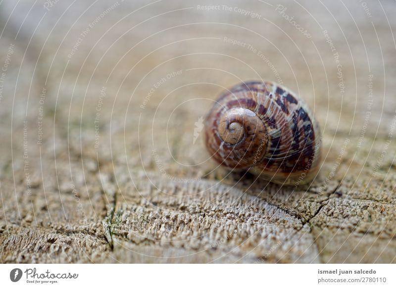 Schnecke in der Natur Riesenglanzschnecke Tier Wanze braun Insekt klein Panzer Spirale Pflanze Garten Außenaufnahme Zerbrechlichkeit niedlich Beautyfotografie