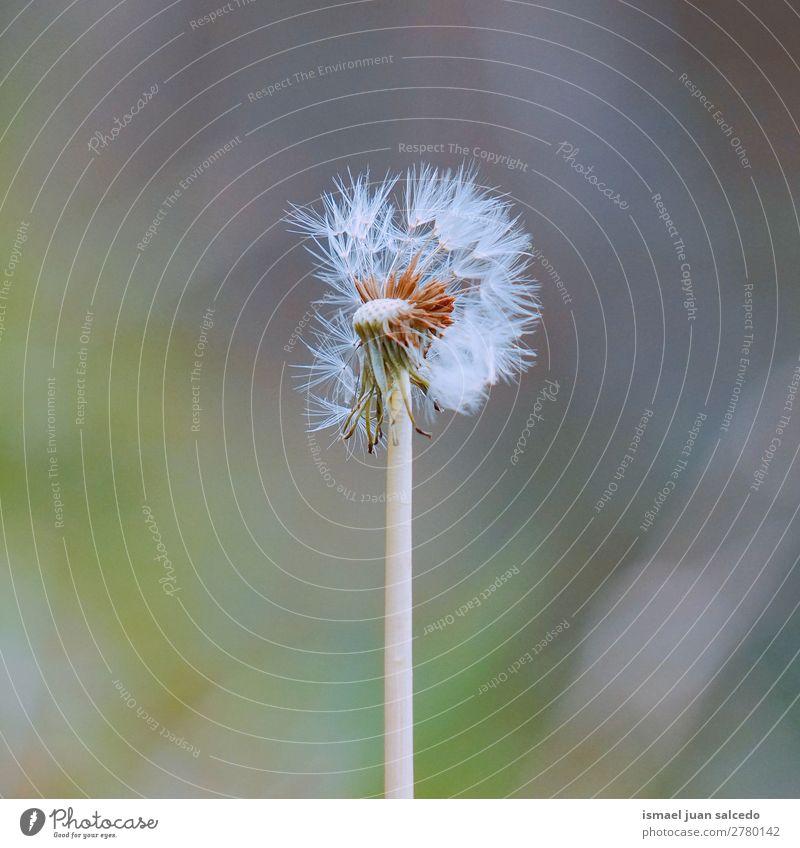 Natur Sommer Pflanze Blume Winter Herbst Frühling Garten Dekoration & Verzierung weich Beautyfotografie Samen Löwenzahn Konsistenz geblümt